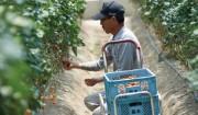 八代トマト流通センターのトマト>手間のかかる栽培で、ようやく生まれるフレッシュな味。