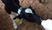 牛舎の牛って実はほとんどみんな女の子なんですよ。