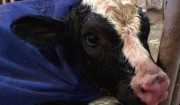 今年最初の分娩と生まれたばかりの赤ちゃん牛のお世話。
