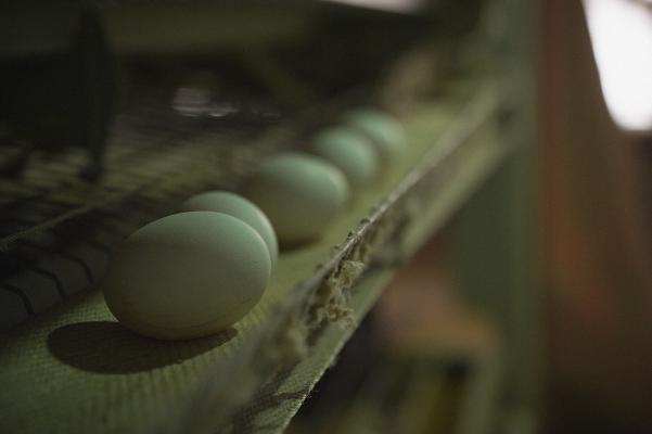 egg_usuki_12